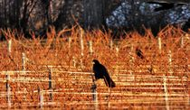 Crows in the Vineyards von Dag Travner