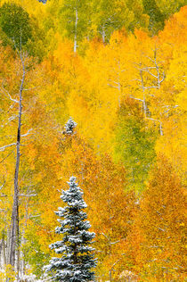 Snow In an Aspen Grove von Barbara Magnuson & Larry Kimball