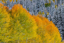 Snow on Aspens von Barbara Magnuson & Larry Kimball