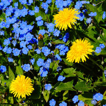 Frühlingsblau mit Butterblumen, blue springtime von Sabine Radtke