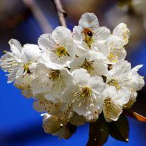 Honigbiene im Kirschblütenreich von Sabine Radtke