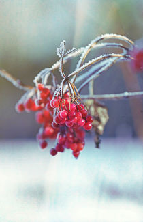 Spell of Winter, rowan berry #2 von Eva Stadler