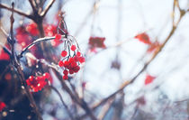 Spell of Winter, rowan berry #1 by Eva Stadler