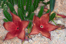 Aasblume Stapelia grandiflora  by gfc-collection