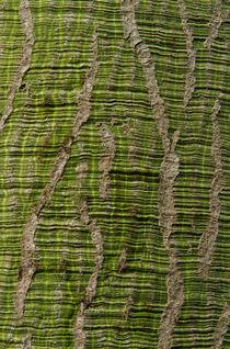 Baumrinde_Florettseidenbaum von Udo Seltmann
