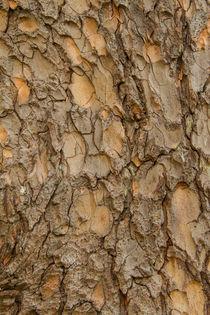 Baumrinde_Orientalische-Fichte (Picea Orientalis) von Udo Seltmann