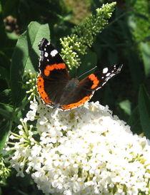 Schmetterlingsflieder by Susanne Winkels