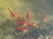 Goldfische von Susanne Winkels