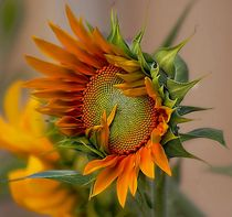 beautiful sunflower von john kolenberg