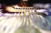 Passionsblume-Passiflora by Tonio Termeer