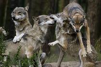 Spielende Wölfe von Tonio Termeer