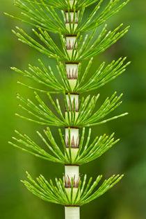 Spross des Riesen-Schachtelhalms / stem of Great horsetail  von gfc-collection