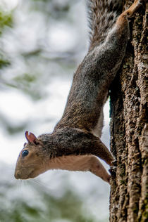 squirrel climbing down tree von digidreamgrafix