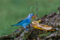 blue gray tanager by Craig Lapsley