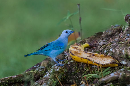 Blue-gray-tanager-9116c
