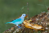 bright blue bird by Craig Lapsley