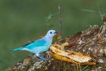 bright blue bird by Craig Lapsley