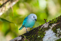 Little blue bird on a branch by Craig Lapsley