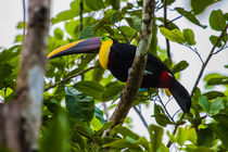 chestnut mandibled toucan by Craig Lapsley