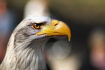 Weisskopfseeadler by fotografie-von-hein