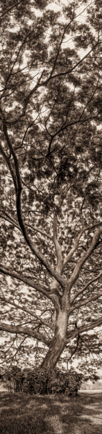 A saman tree by Juan Carlos Lopez