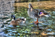 Two Little Ducks by Steve H Clark Photography