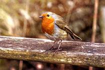 European Robin von Doug McRae