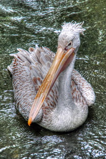 Spot Billed Pelican by Steve H Clark Photography