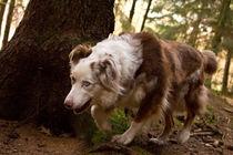 Australian Shepherd im Wald by Henning Hollmann