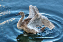 Cygnet by Steve H Clark Photography