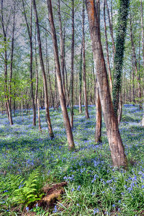 Forest of Dean Bluebells von Steve H Clark Photography