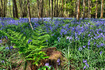 Bluebells and Ferns by Steve H Clark Photography