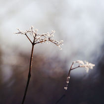 frozen flower by Eva Stadler