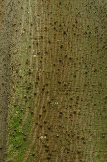 Baumrinde Kapokbaum  Ceiba pentandra von Udo Seltmann