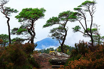 Twisted Pines in Glen Affric von Louise Heusinkveld