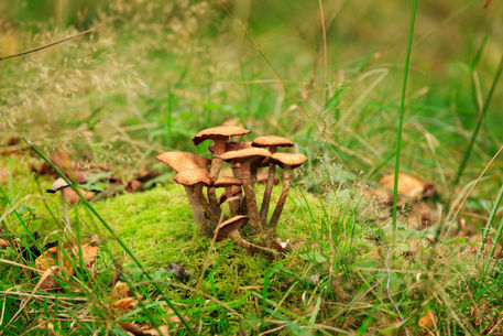 Honey-fungus0189