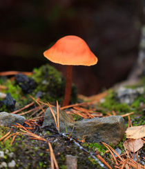 Conical Wax Cap Mushroom by Louise Heusinkveld