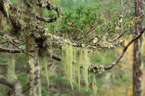 Lichens on tree branches in the Scottish Highlands by Louise Heusinkveld