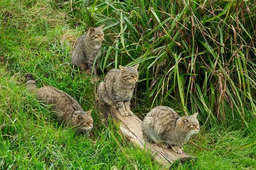Scottish-wildcat0090