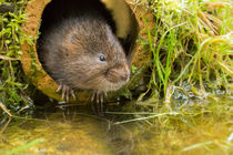 European water vole, Arvicola amphibius by Louise Heusinkveld