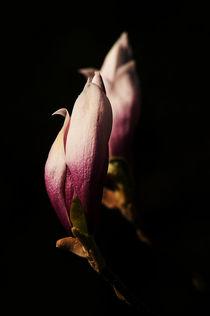 Magnolienblüten by fotografie-von-hein