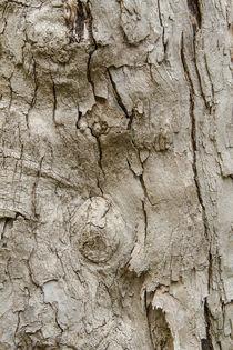 Baumrinde Palisanderholzbaum Jacaranda mimosifolia von Udo Seltmann