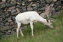 white deer by mark severn