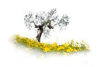 'Olivenbaum' von Reiner Harscher