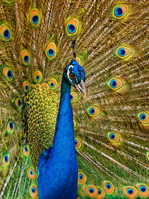 Pfau | Peacock by mg-foto