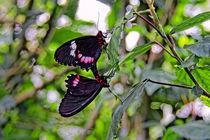 Ritterfalter | Swallowtail butterfly von mg-foto