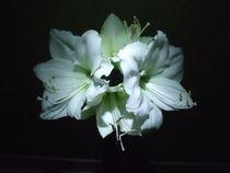 Amaryllis Blüte von ugloess