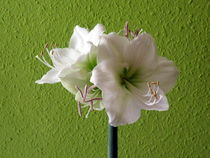 Amaryllis von ugloess