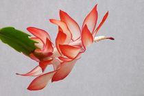 Blüte von Schlumbergera by lorenzo-fp