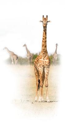'Giraffe' von Reiner Harscher